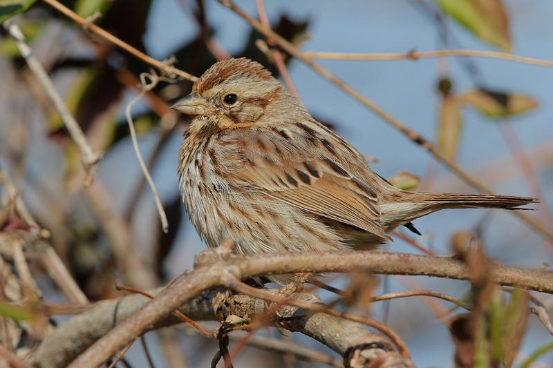 Song Sparrow, Washington DC