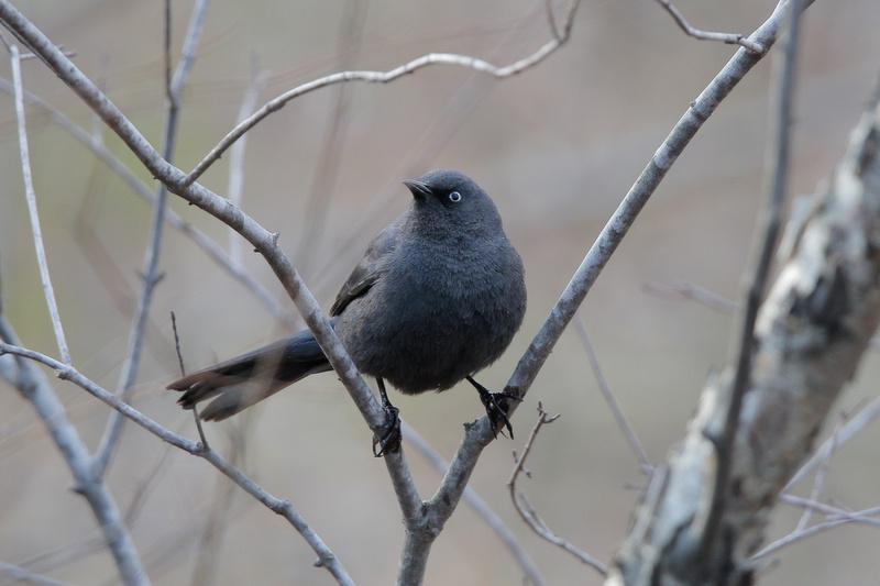 Rusty Blackbird, Washington DC