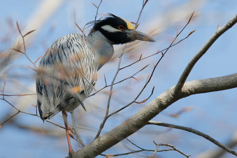 Yellow-crowned Night-heron, Washington DC
