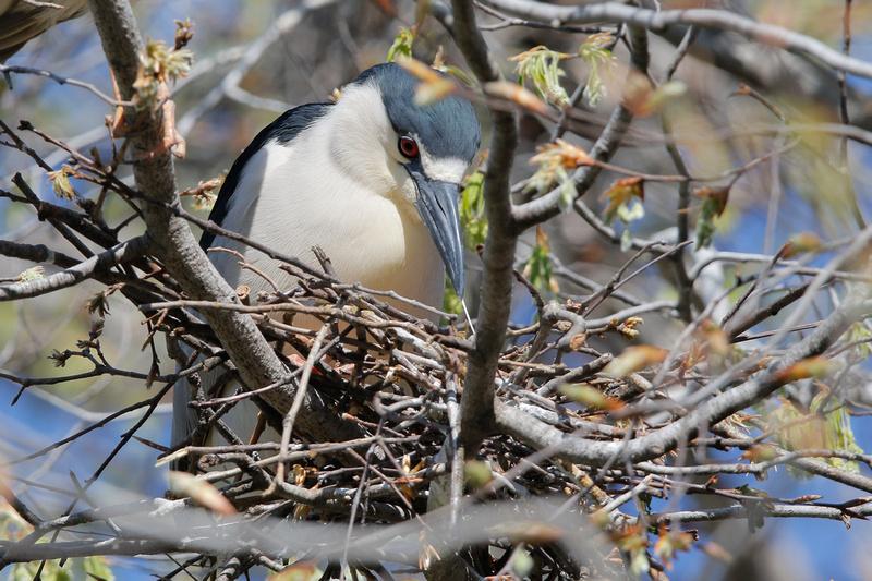 Black-crowned Night-heron, Washington DC