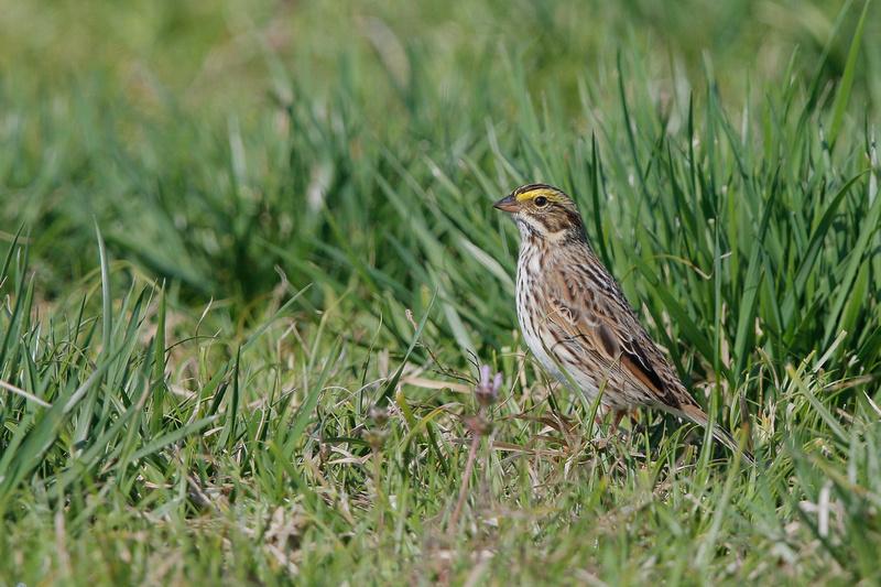 Savannah Sparrow, Washington DC
