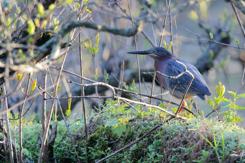 Green Heron, Washington DC