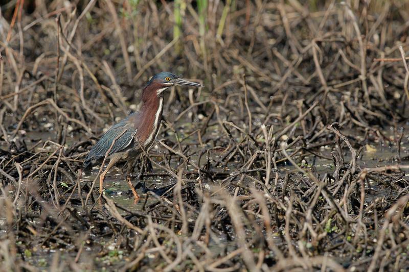 Green Heron. Maryland