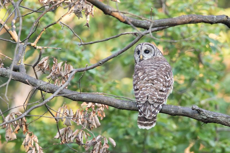 Barred Owl, Rock Creek Park, Washington DC