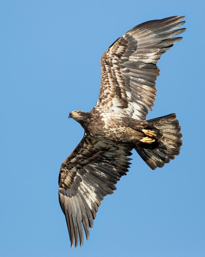 Bald Eagle, Wilde Lake, Maryland