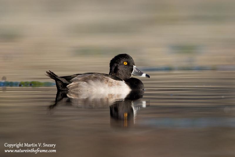 Ring-necked Duck, Constitution Gardens Pond, DC