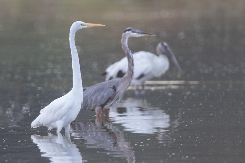Great Egret, Great Blue Heron and Wood Stork, Huntington Beach State Park, South Carolina