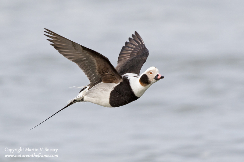 Long-tailed Duck, Barnegat Lighthouse, New Jersey