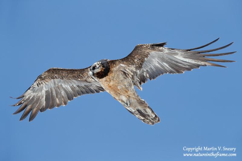 Bearded Vulture (4th year), Valais, Switzerland