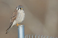 American Kestrel, Washington DC