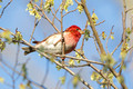 Purple Finch, Washington DC