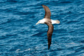 Campbell Albatross, Wollongong Pelagic