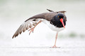 American Oystercatcher, Nickerson Beach