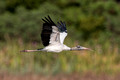 Wood Stork, Huntington Beach State Park, South Carolina