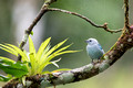 Blue-grey Tanager, Canopy Lodge, Panama