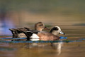 American Wigeon and gadwall, Constitution Gardens Pond, DC