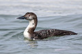 Common Loon, Barnegat Lighthouse, New Jersey
