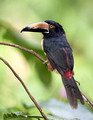 Collared Aracari, Canopy Lodge, Panama