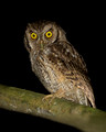 Tropical Screech Owl, Canopy Lodge, Panama
