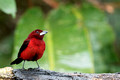 Crimson-backed Tanager (Lemon-rumped), Canopy Lodge, Panama