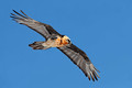 Bearded Vulture, Valais, Switzerland