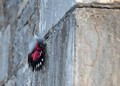 Wallcreeper, Fort L'Ecluse, France