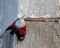 Wallcreeper, France (8x10 and 16x20)