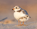 Piping Plover adult and chick (11x14)
