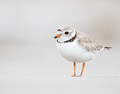 Piping Plover portrait (11x14)