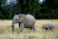 African Elephant mother and calf, Masai Mara National Reserve