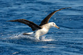 Black-browed Albatross, Wollongong Pelagic