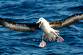 Black-browed/Campbell Albatross, Wollongong Pelagic