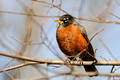 American Robin, Washington DC