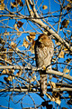 Cooper's Hawk eyes its next meal