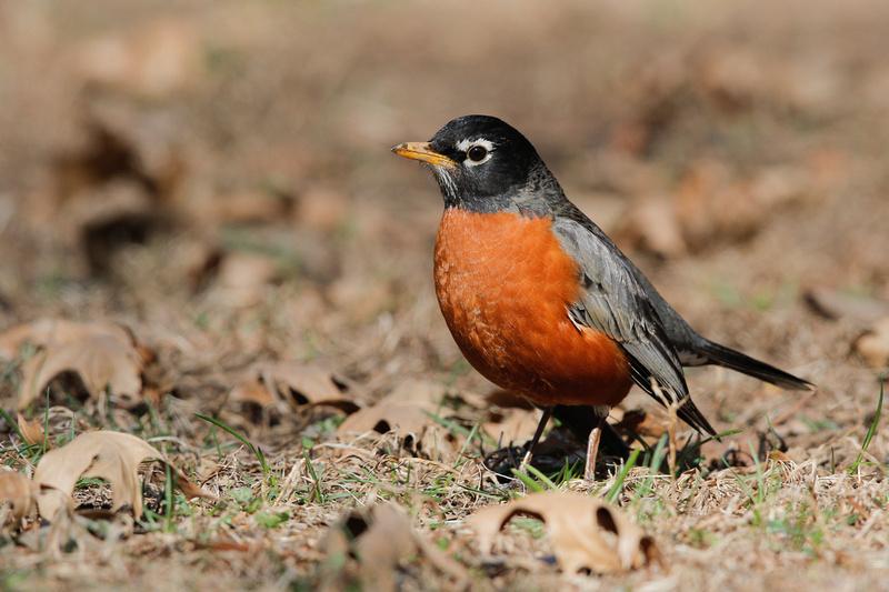 American Robin, Washington DC