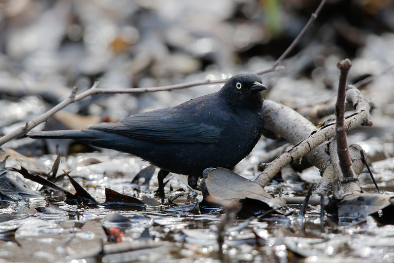 Rusty Blackbird, Washington DC