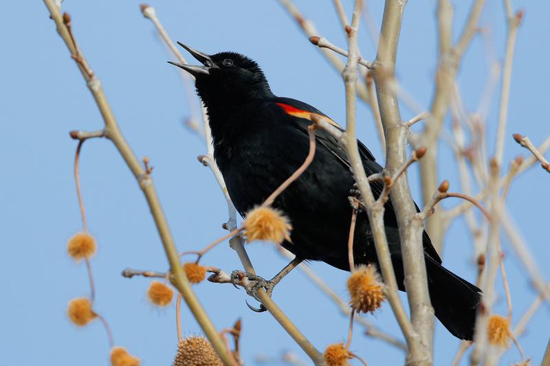 Red-winged Blackbird, Kenilworth Aquatic Gardens, Washington DC