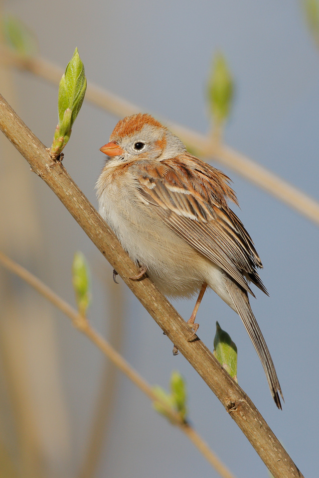 Field Sparrow, Washington DC