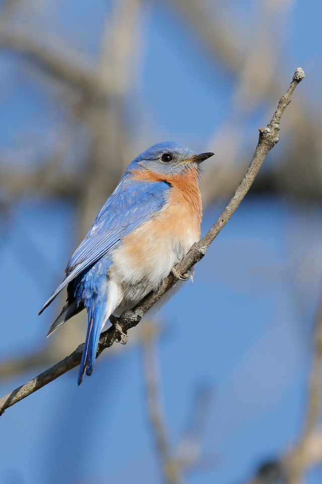 Eastern Bluebird, Washington DC