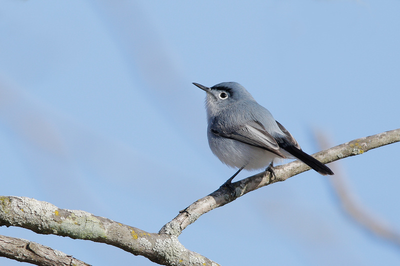 Blue-gray Gnatcatcher, Washington DC