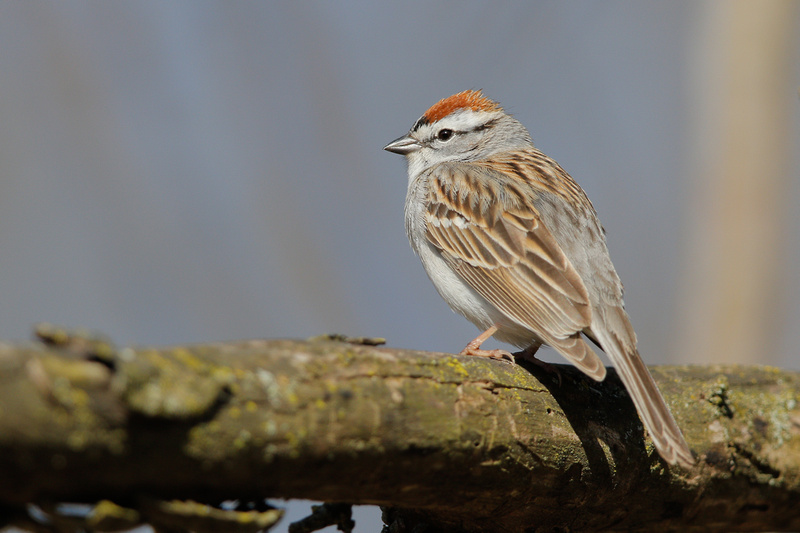 Chipping Sparrow, Washington DC