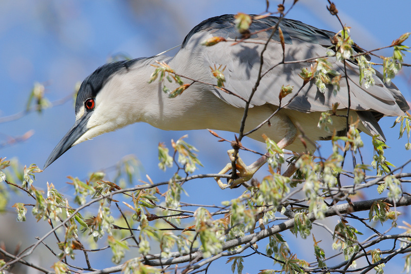 Black-crowned Night-heron, Washington DC