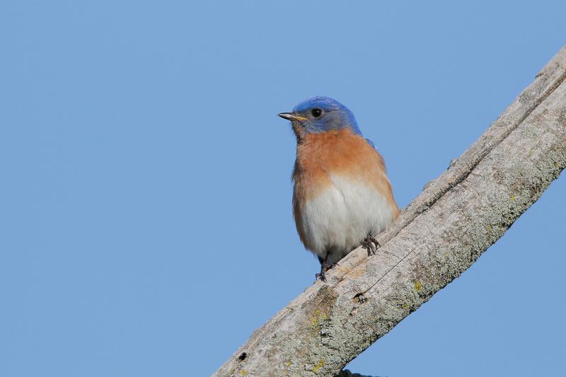 Eastern Bluebird, Washington DC