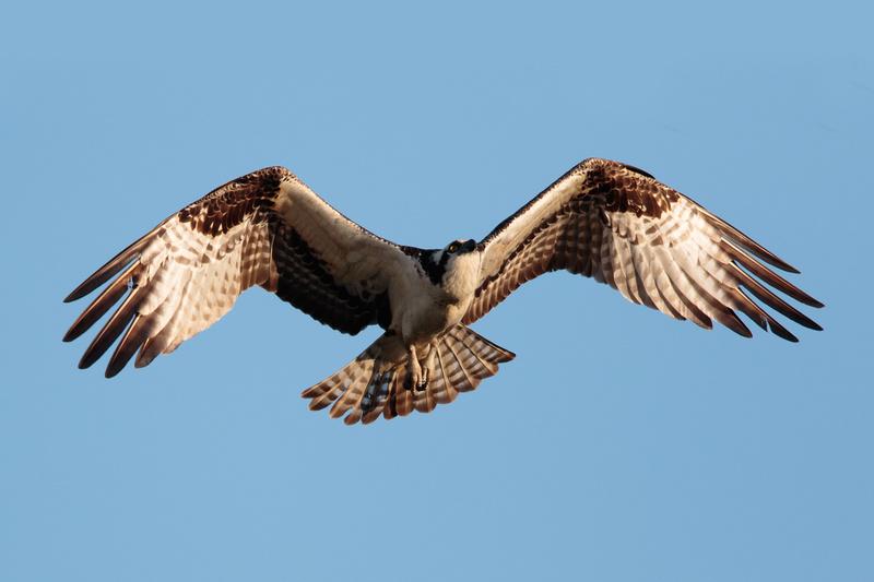 Osprey, Washington DC