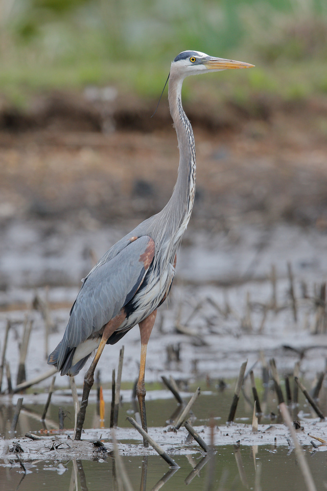 Great Blue Heron, Washington DC