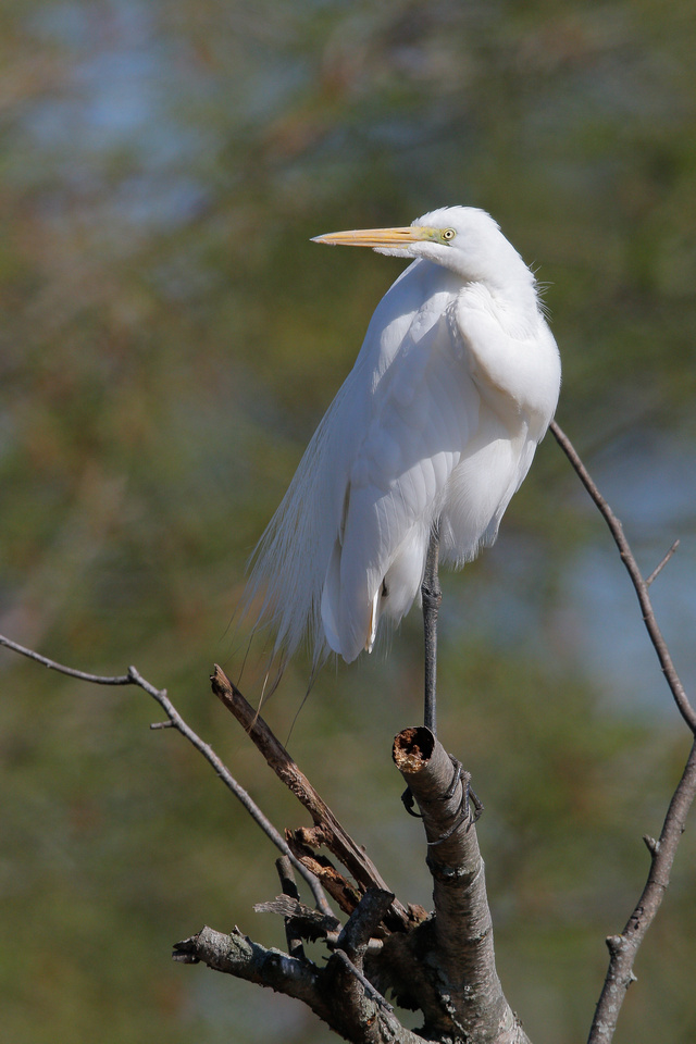 Great Egret, Washington DC