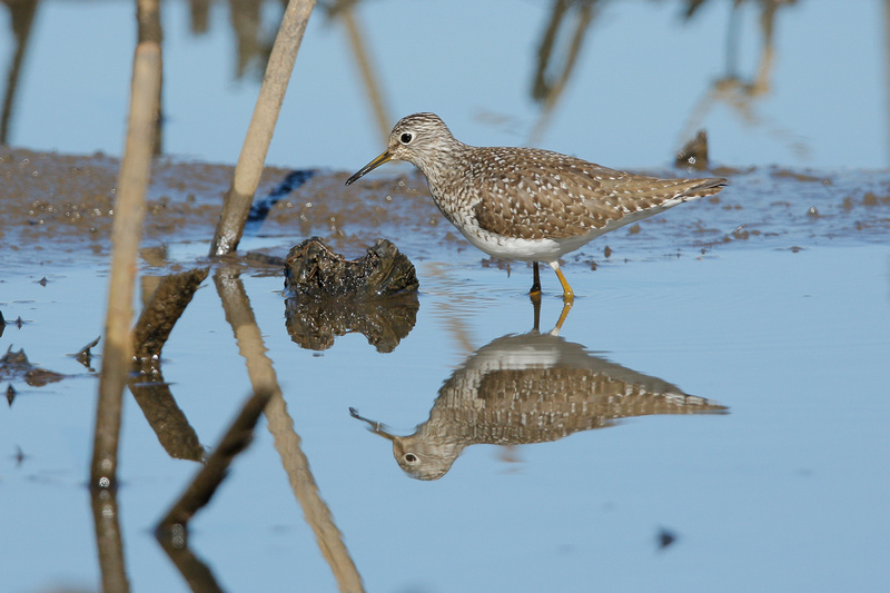 Solitary Sandpiper, Washington DC