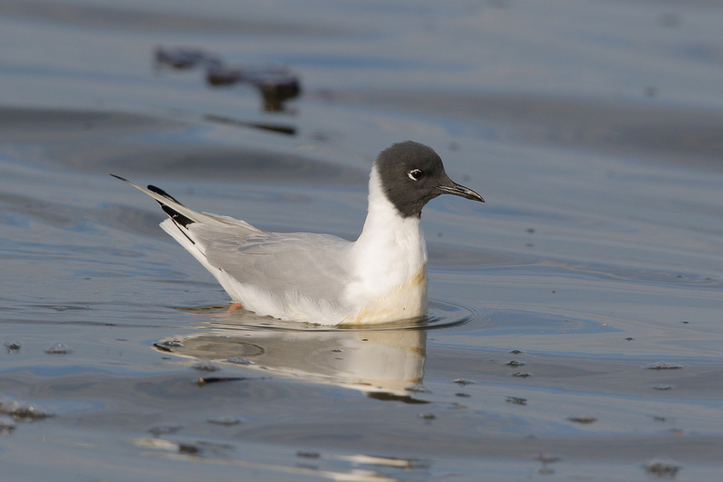 Bonaparte's Gull, Washington DC