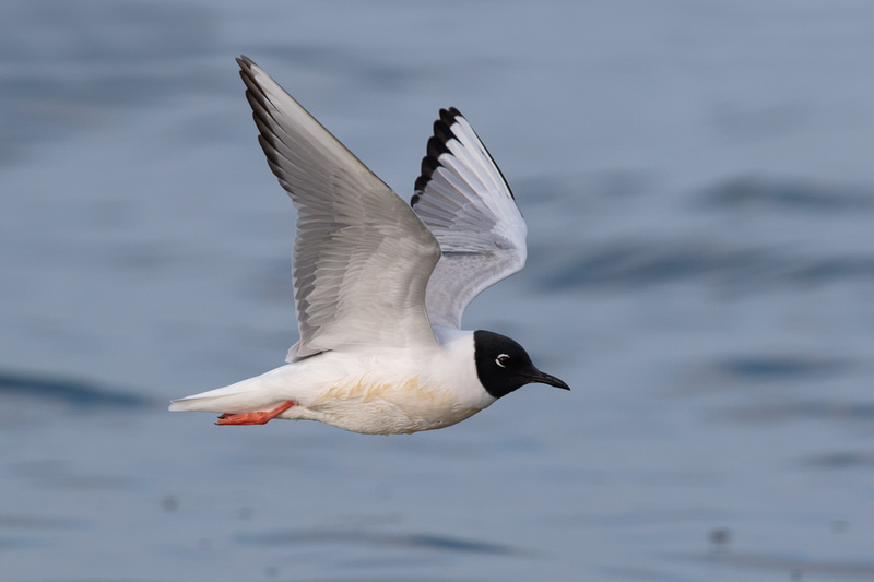 Bonaparte's Gull, Hains Point, Washington DC