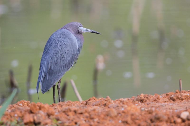 Little Blue Heron, Washington DC